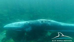 Uginuli veliki kit pored Lošinja, 24.1.2018.